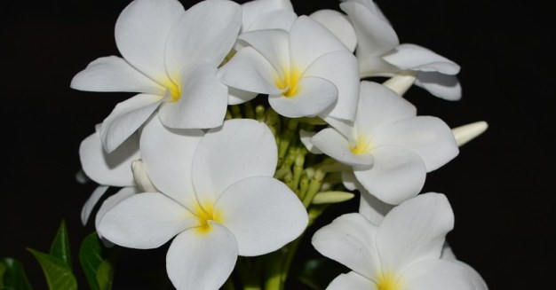 flor-isadora