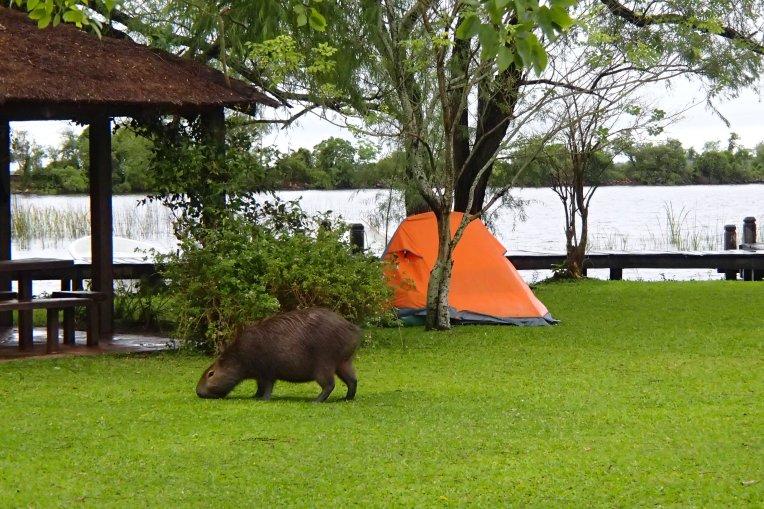Visita de uma capivara ao nosso acampamento nos Esteros del Iberá