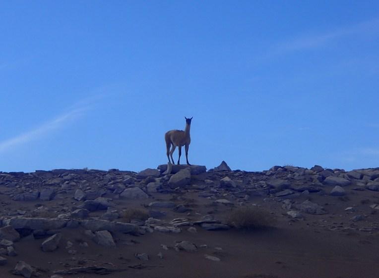 Guanaco no Deserto do Atacama