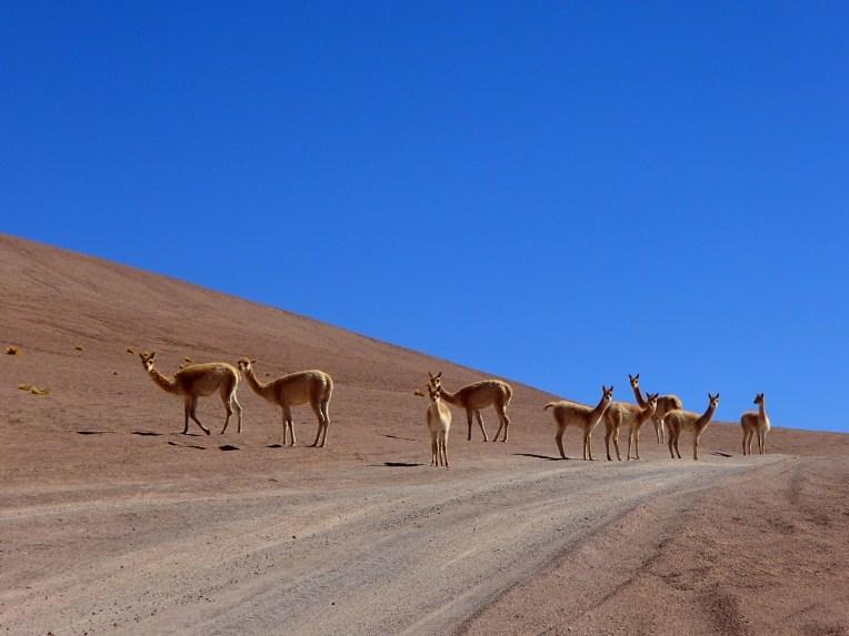 Vicuñas no deserto do Atacama