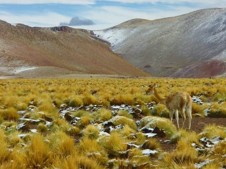 Vicunha no deserto do Atacama