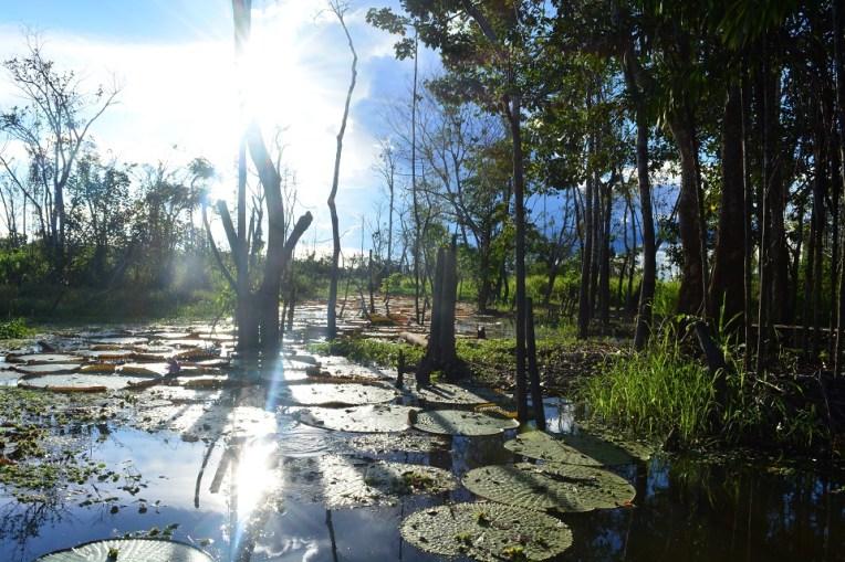 Reserva de vitórias-régia na Amazônia