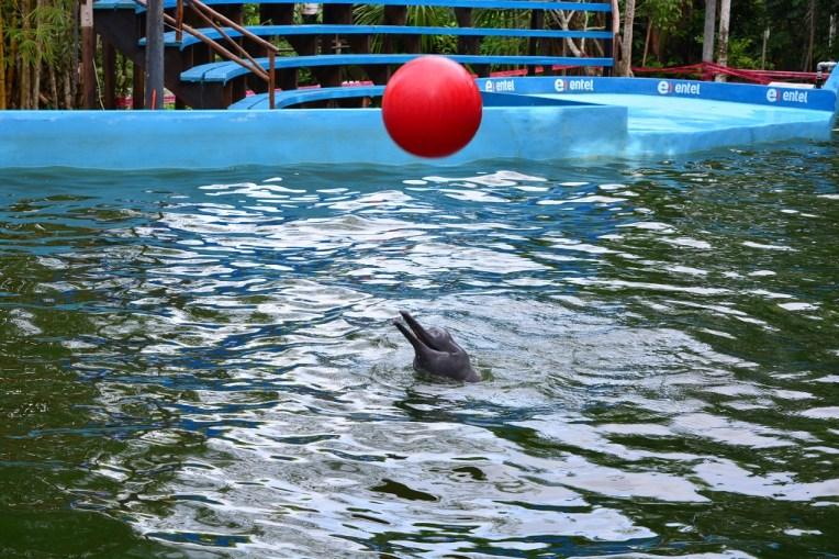 Golfinho no zoológico Quistococha, em Iquitos