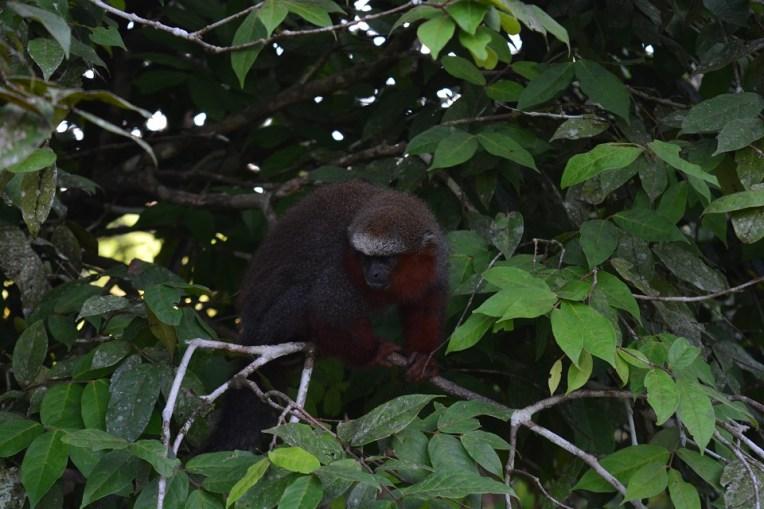 Macaquinho na Isla de los Monos, Iquitos