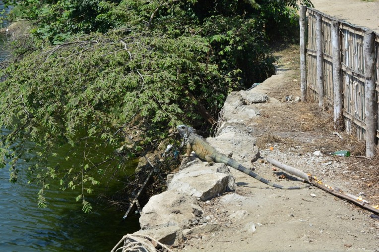 Iguana em Montañita