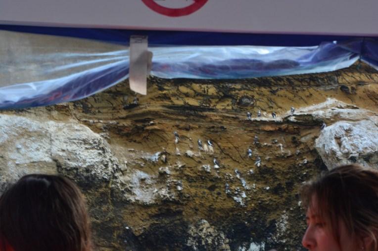 Piqueros de Patas Azules formando seus ninhos nas pedras