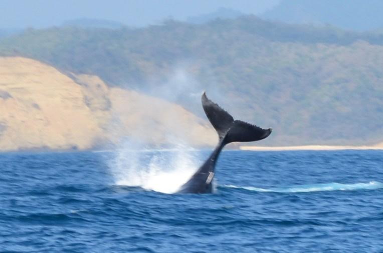 Imensa cauda da baleia para fora d'água
