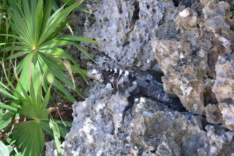 Iguanas em Roatán