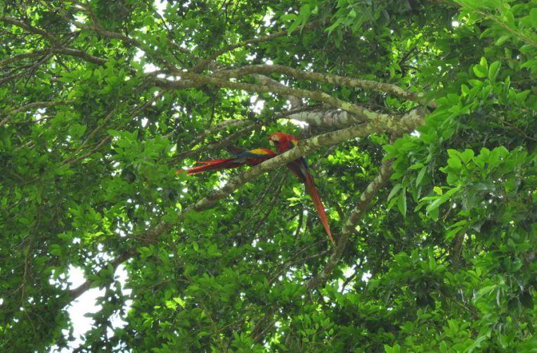 Os papagaios de Copán, a ave nacional de Honduras