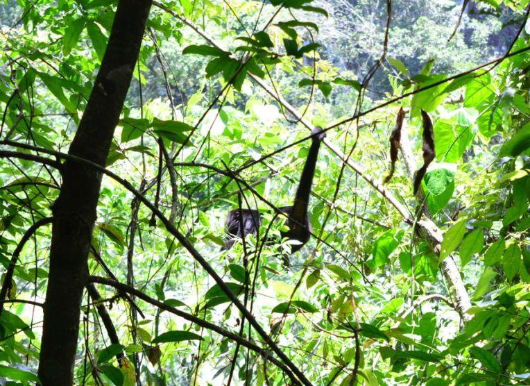 Macaco em Semuc Champey