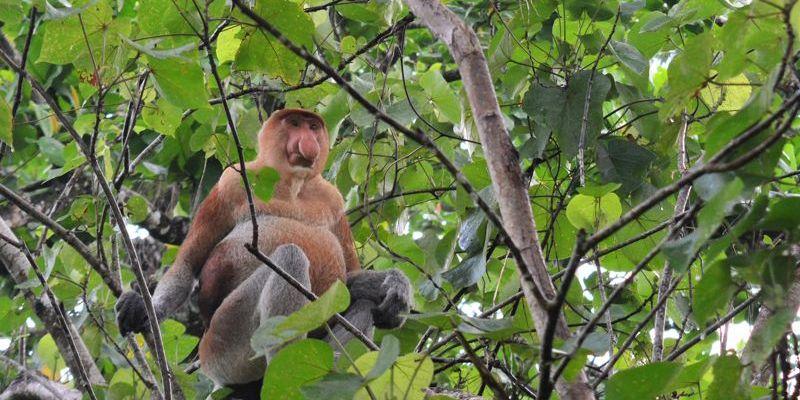 Macaco proboscis, no Parque Nacional Bako