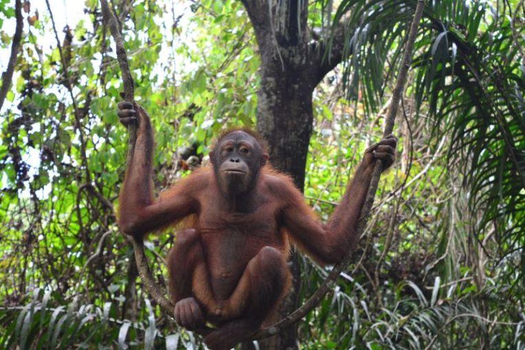 Orangotango em Sepilok