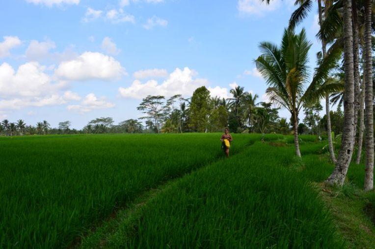 Plantação de arroz em Bali