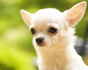 nombres-para-perros-chihuahua