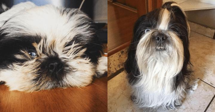 Evolução dos bigodes do Shih Tzu, Cortar ou não?