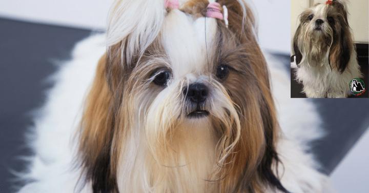 Como limpar os bigodes e ouvidos do cachorro