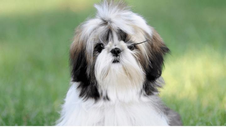 Como evitar que os bigodes do Shih Tzu fiquem manchados