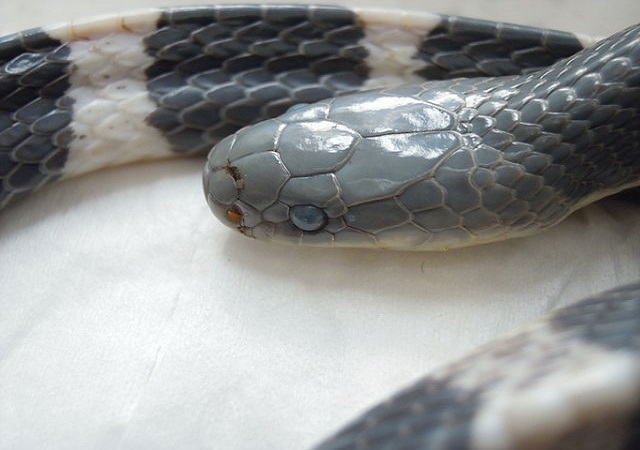 Top 10 cobras mais venenosas do mundo - Krait de Taiwan