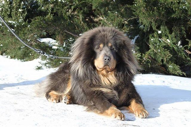Top 10 raças de cães mais caras do mundo - Mastim Tibetano