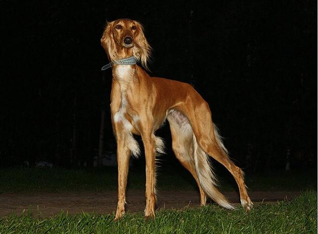 Top 10 raças de cães mais caras do mundo - Saluki