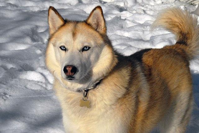 Top 10 raças de cães mais perigosas do mundo - Husky Siberiano