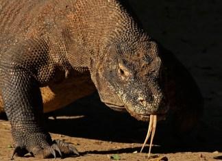 Top 10 animais mais perigosos do mundo - Dragão de Comodo