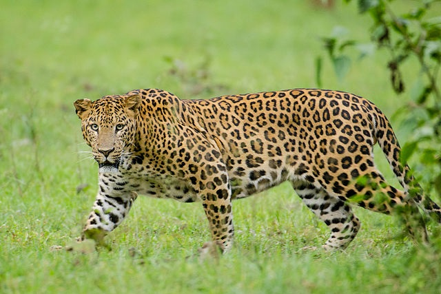 Top 10 animais mais perigosos do mundo - Leopardo