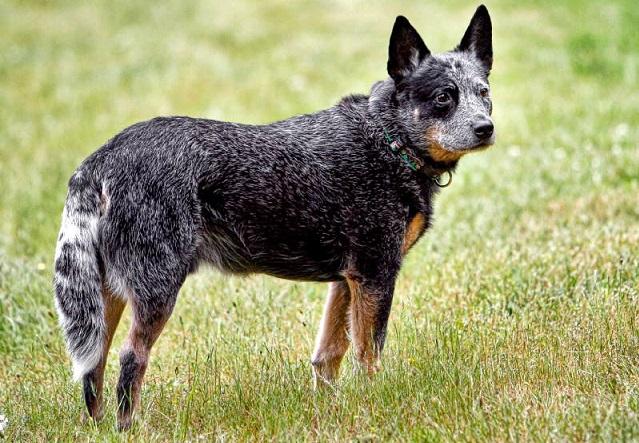 Top 10 raças de cães mais inteligentes do mundo - Boiadeiro Australiano