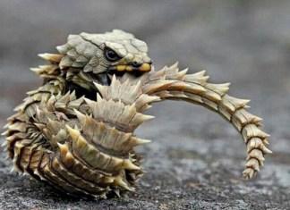 Top 10 animais que você não vai acreditar que existem - Lagarto Tatu