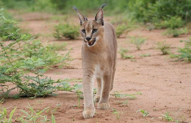 Top 10 espécies de gatos únicas no mundo - Caracal