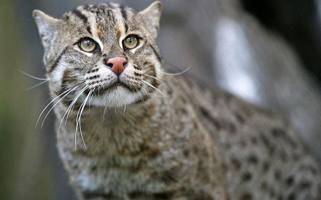Top 10 espécies de gatos únicas no mundo - Gato-Pescador
