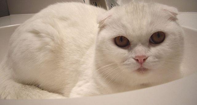 Top 10 espécies de gatos únicas no mundo - Scottish Fold