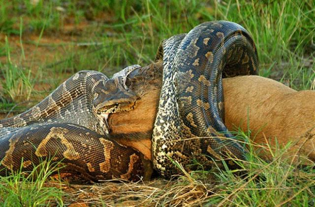 Animais Selvagens - Cobra Píton