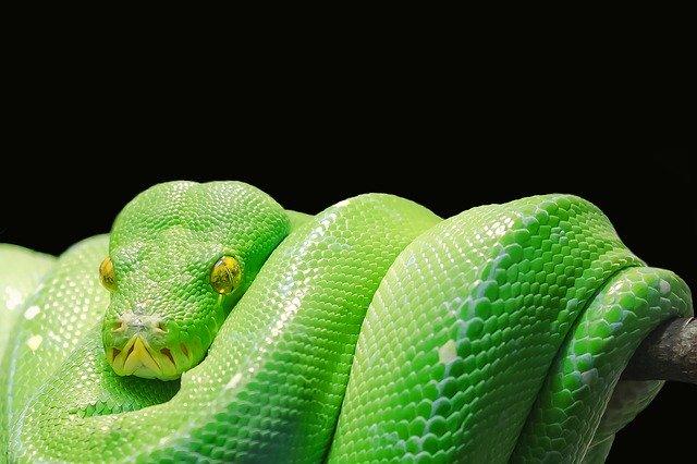 Serpentes procriando sozinhas