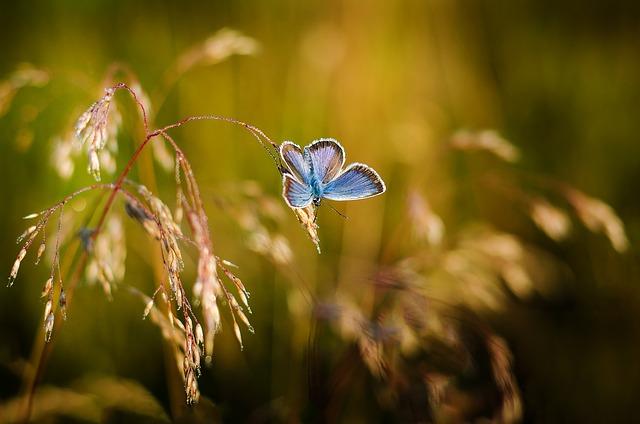 Vida curta das borboletas