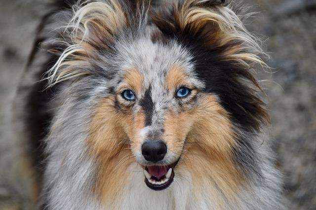 Cachorros mais inteligentes - Pastor de Shetland