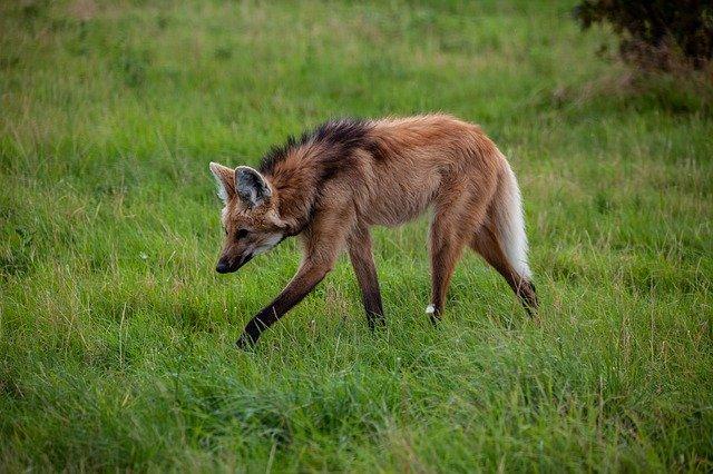 O lobo-guará caça cobras