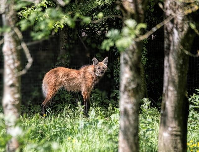 Lobo-guará é um animal solitário