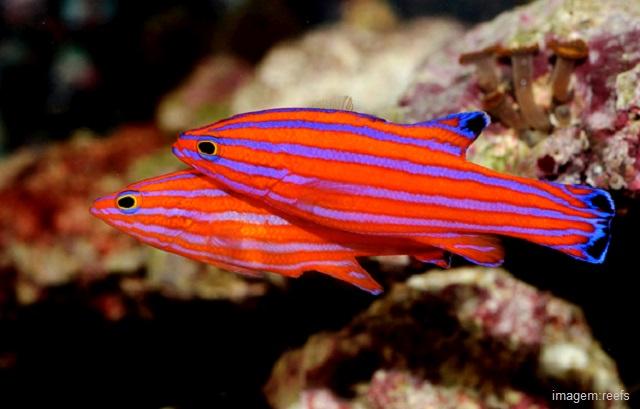 Peixes mais caros do mundo - Candy Basslet (Liopropoma carmabi)