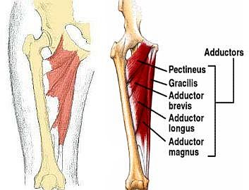 adductor-muscles.jpg