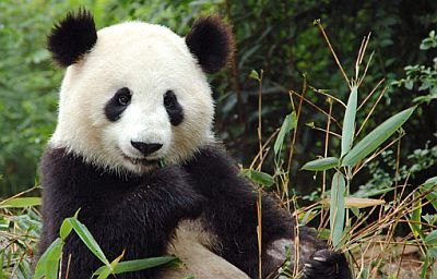 Panda-eating-bamboo.jpg