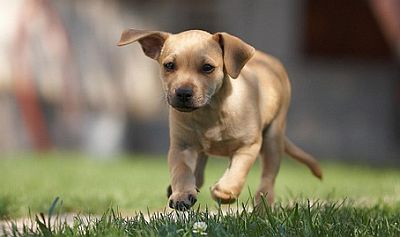 Small-brown-puppy-running.jpg