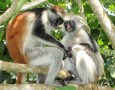 Kirk's red colobus monkeys