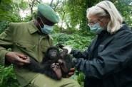 Baby Eastern lowland gorilla