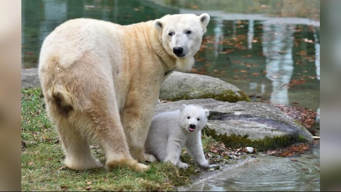 Polar Bear in Munich