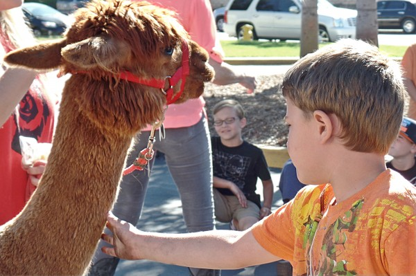 boy petting Alpaca