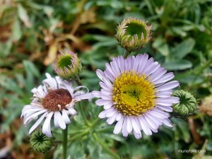Wayne Roderick daisy - Erigeron glaucus