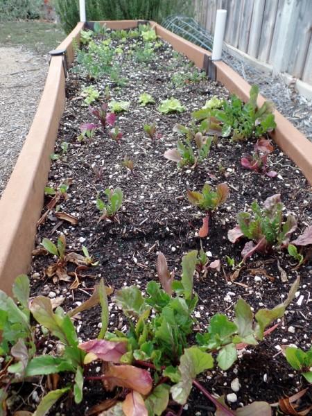 raised garden bed in winter in California