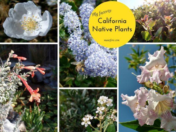 Photos of California Native Plants in a home landscape. Toyon, Chitalpa, Arctostaphylos, Ceanothus, Zauschneria, Erigeron