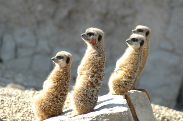 meerkats reclining